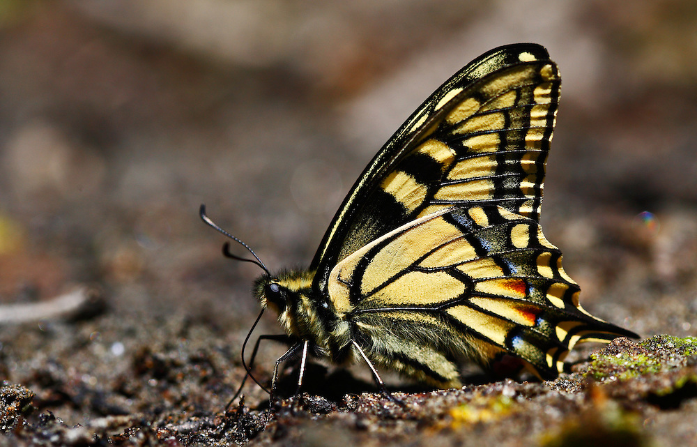 Russia, Caucasus, Teberdinsky biosphere reserve. Swallowtail (Papilio machaon) on a riverbank in Arkhyz section of the park.