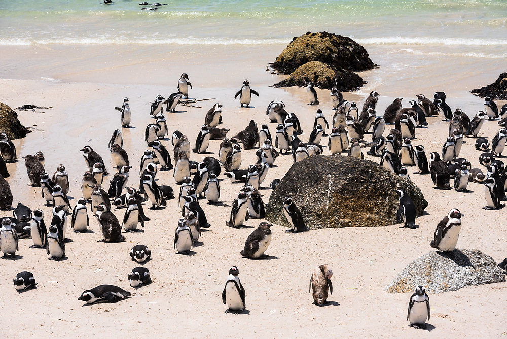 Lots of African penguins gather on Boulder Beach near Simon's Town in South Africa.
