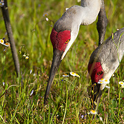 Sandhill cranes, Grus canadensis, migrate Florida where they spend the winter months in the Everglades. <br />