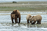 A Brown bear mother with her two yearling cubs along the lower lagoon at the McNeil River State Game Sanctuary on the Kenai Peninsula, Alaska. The remote site is accessed only with a special permit and is the world's largest seasonal population of brown bears in their natural environment.