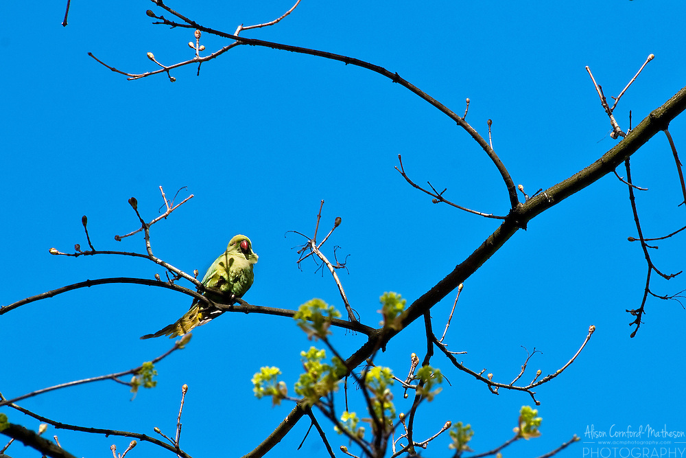 Wild Parrots live in the parks of Brussels, Belgium.