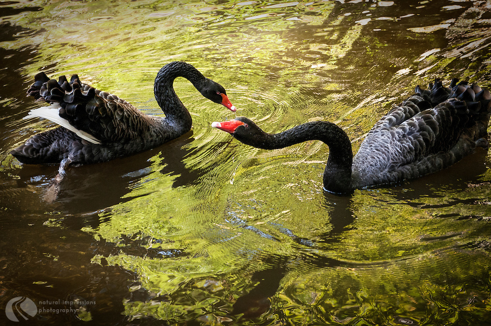Black Swans in the castle gardens of Sintra, Portugal.