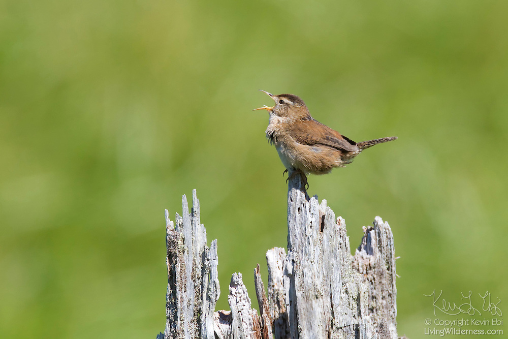 A marsh wren (Cistothorus palustris) sings from its perch in the Grays Harbor National Wildlife Refuge in Hoquiam, Washington. Marsh wrens have very large song repertoires. Western species know about 150 songs, on average; eastern species know about 50. Scientists studied one western marsh wren that sang 219 songs.