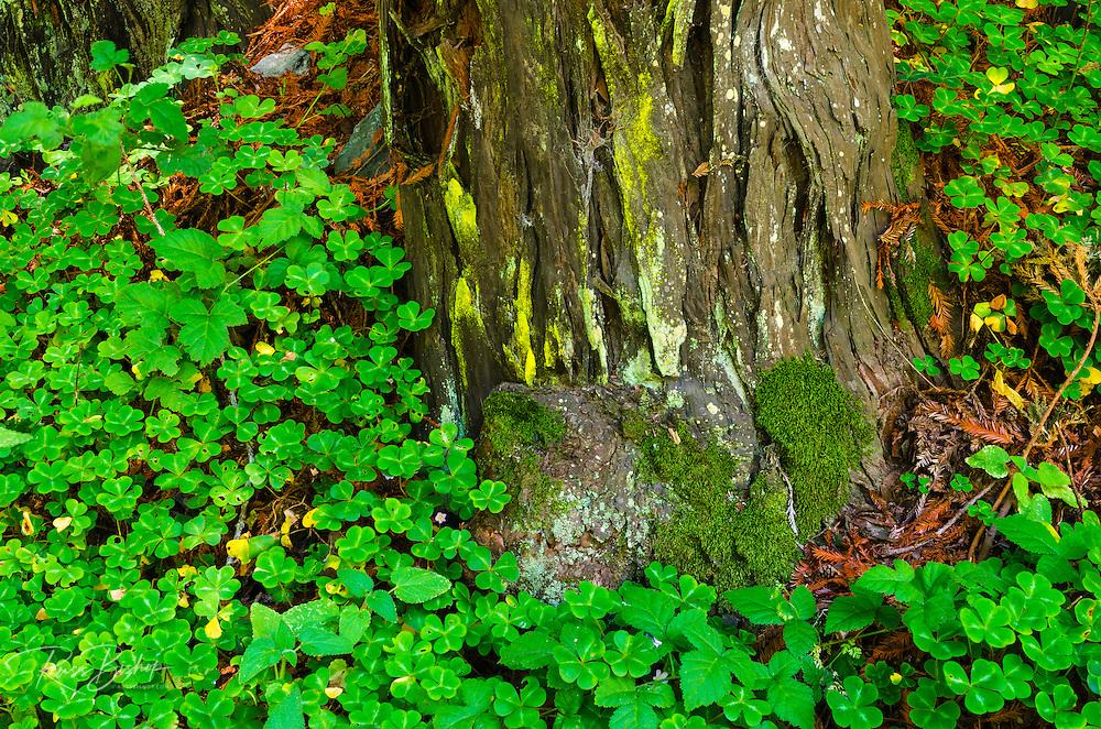 Sorrel and redwood, Lime Kiln State Park, Big Sur, California USA