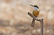 Somali Bee-eater (Merops revoilii) in Samburu National Reserve, Kenya.