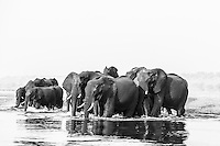 A herd of African Elephants enters the water to swim across the Chobe River,  Kasane, Botswana.
