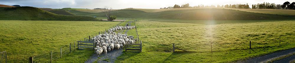 A farmer on a quad bike herds sheep down a lane and through an open gate.
