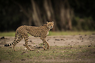 One of approximately six Cheetahs still in Amboseli National Park, Kenya.<br />