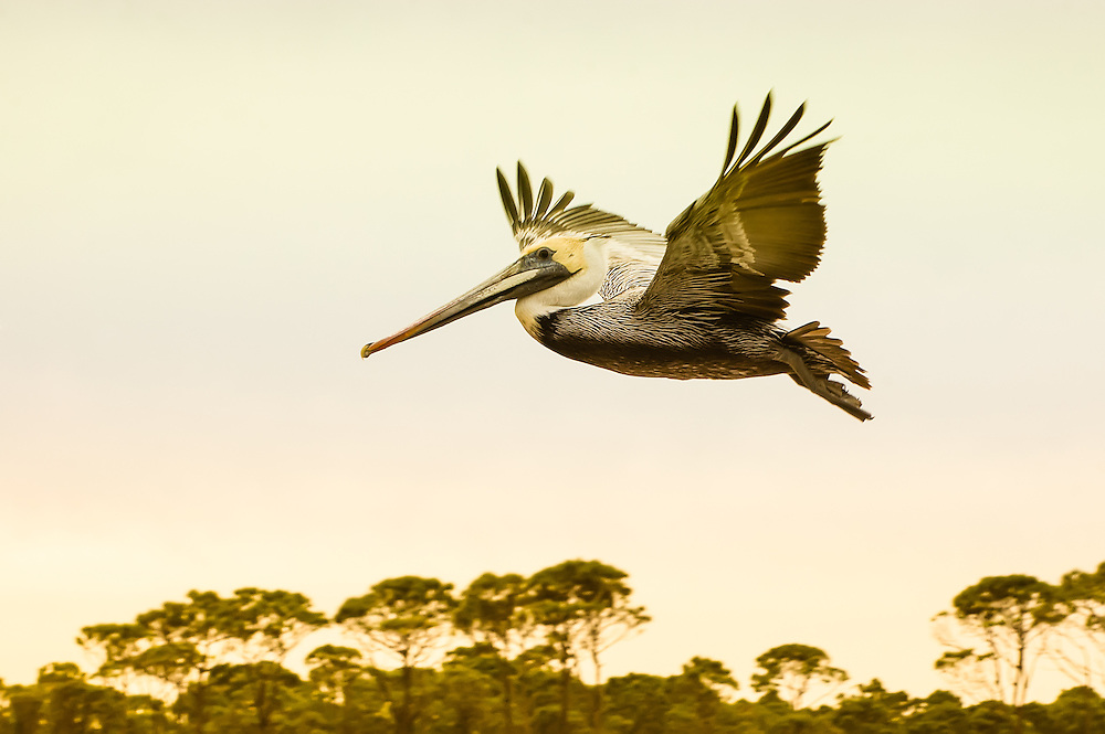 The brown pelican is one of eight species of pelicans found around the world, and is also the smallest. This one was photographed on the St. Joseph Peninsula of Florida's northern Gulf Coast.