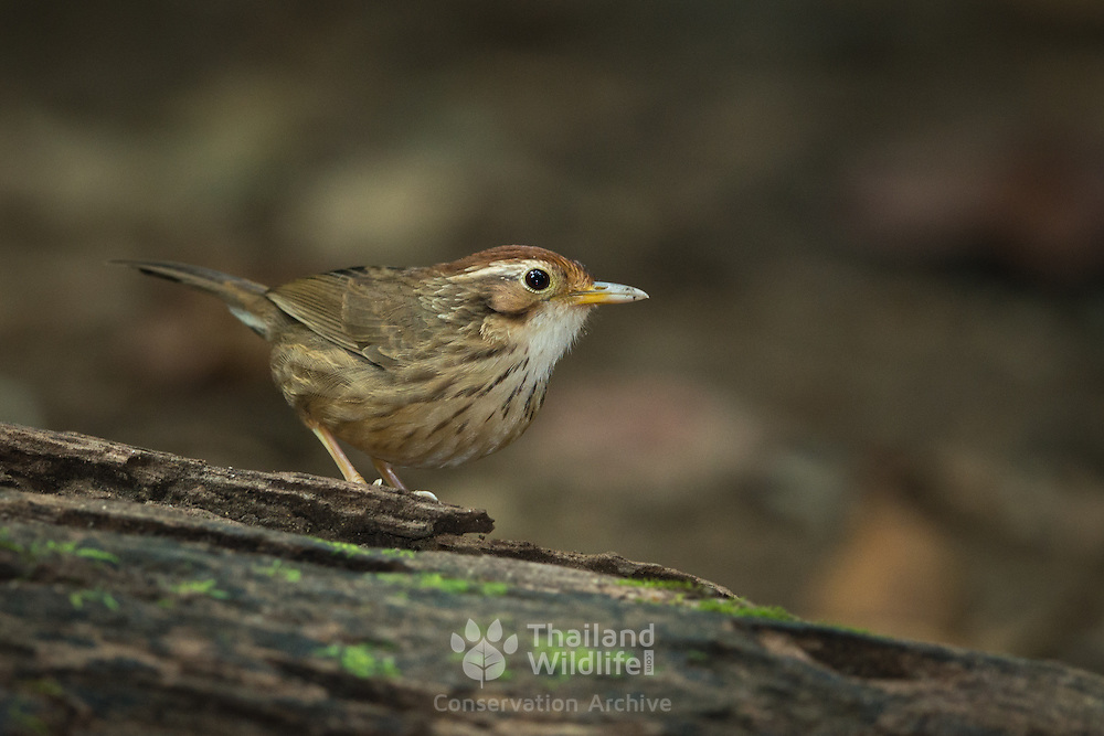 Puff-throated Babbler ( Pellorneum ruficeps) in Kaeng Krachan National Park, Thailand.