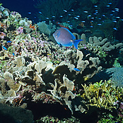 Blue angel fish on coral reef..Cozumel, Quintana Roo..Mexico.