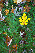 Dew covered autumn maple leaves on long grass