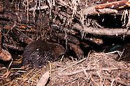 Eurasian beaver, Castor fiber, Castor européen