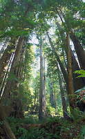 Forest of Redwood trees Redwoods National Park Northern California Coast USA.