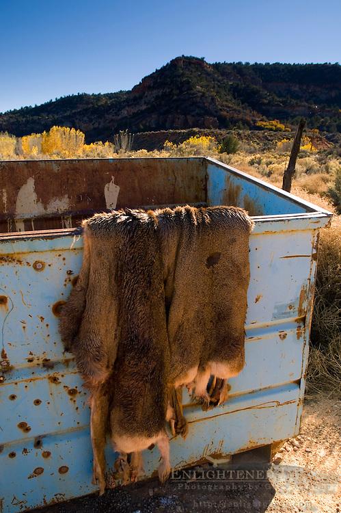 Discarded deer hide fur skins in garbage dumpster, near Kanab, Kane County, Utah