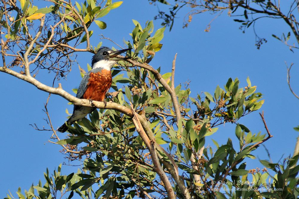 Ringed kingfisher, San Lorenzo de Moxos, Beni, Bolivia