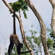 Spider monkey..Aktunchen, Quintana Roo..Mexico