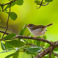 Small brown bird, Tanjong Jara Resort, Terengganu, Malaysia.