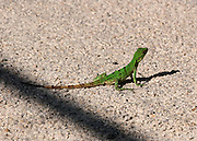 A juvenile Iguana crossing a hot Mexican road
