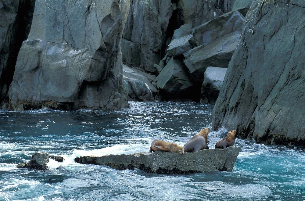 Sea Lions in Kenai Fjords, Alaska, USA