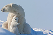 Mother polar bear (Ursus maritimus) and her cub leaning on her, Churchill, Manitoba, Canada.