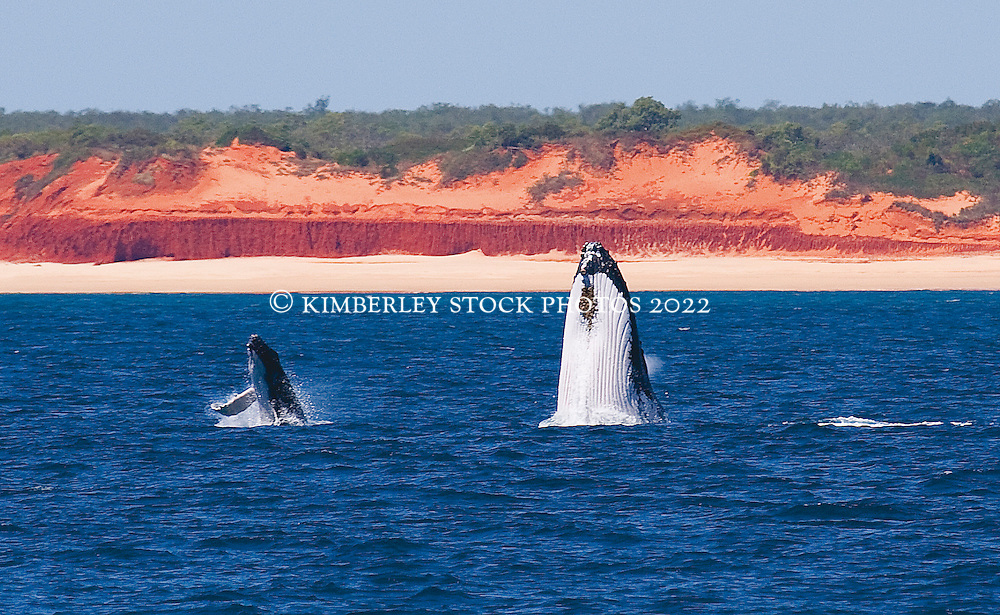 A cow and calf breach in front of the red pindan cliffs between Cape Leveque and Lombadina.