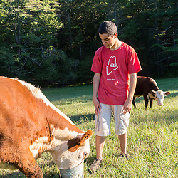 A teenage boy feeds apples to his cows in a field in Kittery, Maine.