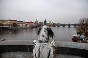 """English Setter """"Rudy"""" schaut am 22.11. 2018 auf die Karlsbrücke in Prag. Rudy wurde Anfang Januar 2017 geboren."""