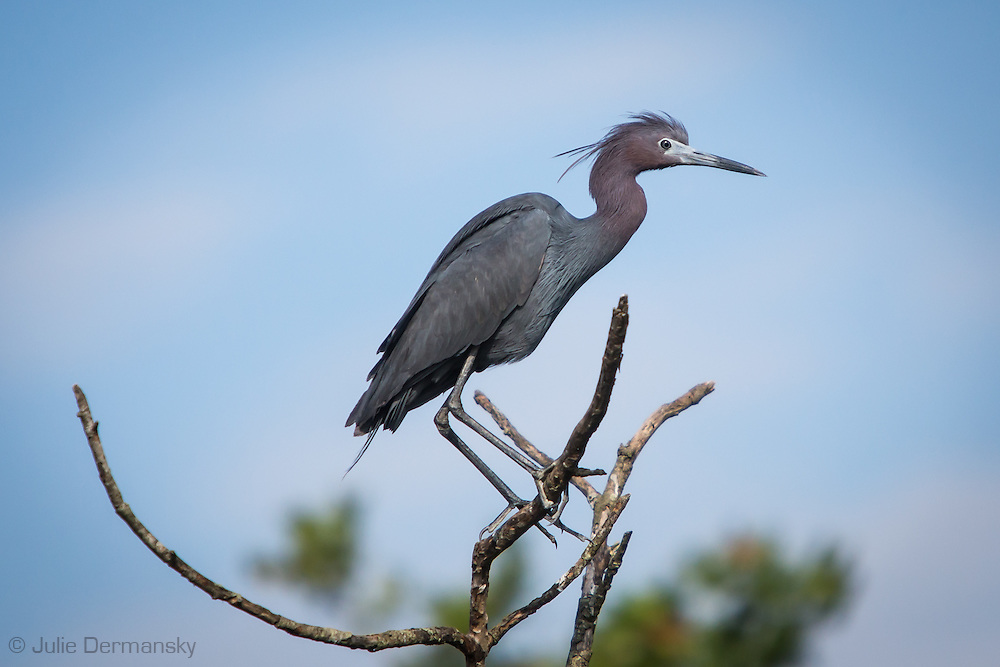 Blue heron at a rookery in Lake Boeuf