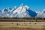 Horses graze idyllically beneath snow-covered Grand Teton, the highest mountain (13,775 feet) in Grand Teton National Park. Wyoming, USA.