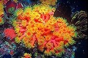 UNDERWATER MARINE LIFE WEST PACIFIC, Philippines CORAL: Tube coral, polyps expanded Tubastrea species