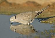 Collared Dove - Streptopelia decaocto