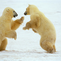These two polar bears in Chrchill, Manitoba Canada are play fighting.