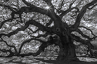The Angel Oak on Johns Island, South Carolina USA