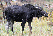 Moose in a residential area along Wyoming Highway 22 near Grand Teton National Park.