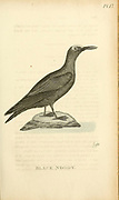 black noddy or white-capped noddy (Anous minutus) from the 1825 volume (Aves) of 'General Zoology or Systematic Natural History' by British naturalist George Shaw (1751-1813). Shaw wrote the text (in English and Latin). He was a medical doctor, a Fellow of the Royal Society, co-founder of the Linnean Society and a zoologist at the British Museum. Engraved by Mrs. Griffith