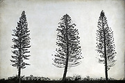 Araucaria heterophylla commonly known as Norfolk Island Pine, is a tall conifer that belongs to the family Araucariaceae. The trees are planted abundantly along oceanic coastal areas of Australia.