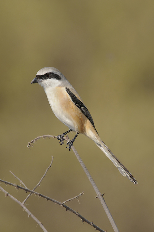 Long-tailed Shrike - Lanius schach