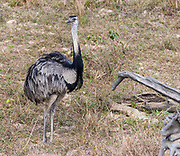 Greater rhea (Rhea americana) from Pantanal, Brazil.