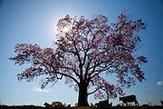 Pirajuba_MG, Brasil...Gado em uma paisagem em Pirajuba...The cattle in the landscape in Pirajuba...Foto: LEO DRUMOND / NITRO