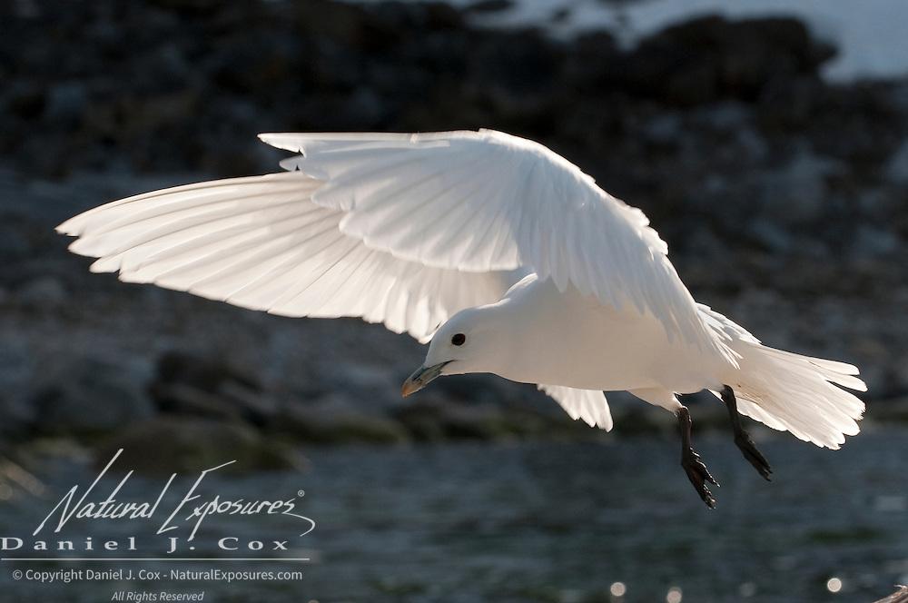 Ivory Gull in Svalbard, Norway.