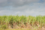 14 NOVEMBER 2005 - FRANKLIN, LA: Sugar cane waits to be cut on Jesse Breaux' farm near Franklin, Louisiana during the 2005 sugar cane harvest. Louisiana is one of the leading sugar cane producing states in the US and the economy in southern Louisiana, especially St. Mary and Iberia Parishes, is built around the cultivation of sugar. Sugar growers in the area are concerned that trade officials will eliminate sugar price supports during upcoming trade talks for the proposed Free Trade Area of the Americas (FTAA). They say elimination of price supports will devastate sugar growers in the US and the local economies of sugar growing areas. They also say it will ultimately lead to higher sugar prices for US consumers.  PHOTO BY JACK KURTZ