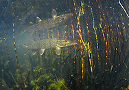 Northern Pike<br />