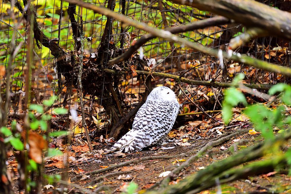 Snowy owl of snows in Saint Félicien's zoo in Quebec. Harfang des neiges dans le zoo de Saint-Félicien au Québec.