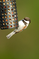 Chestnut-backed Chickadee (Poecile rufescens), eating peanuts from a feeder Courtenay, British Columbia, Canada   Photo: Peter Llewellyn