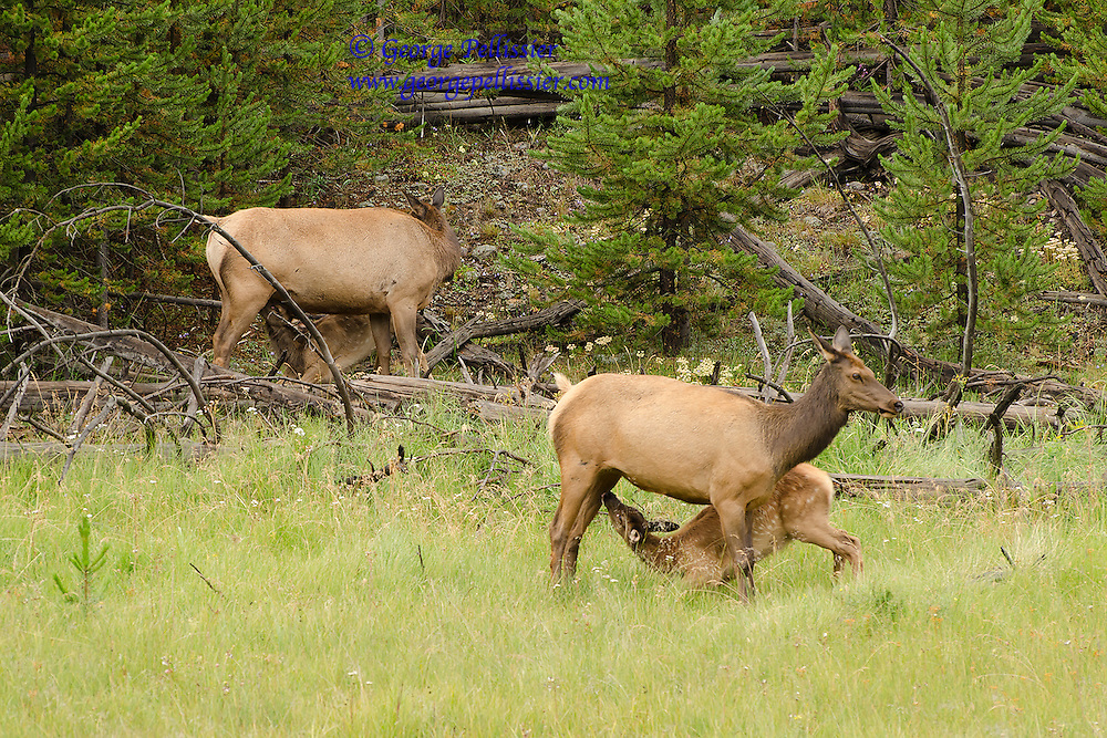 A pair of Elk getting a snack from their mothers in Yellowstone National Park.