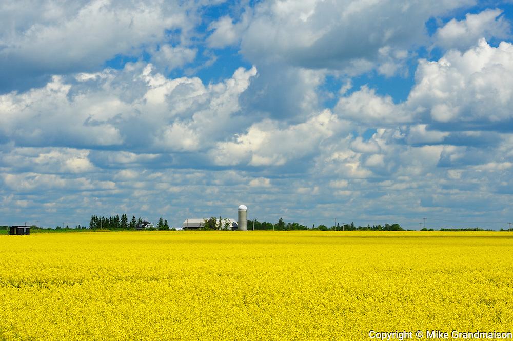 Canola crop in bloom and dairy farm<br /> Earlton<br /> Ontario<br /> Canada