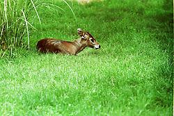 10 June 2001: Miller Park Zoo<br /> tufted deer<br /> Archive slide, negative and print scans.