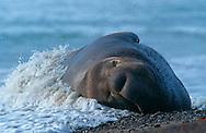 USA, Vereinigte Staaten Von Amerika: Nördlicher See-Elefant (Mirounga angustirostris), im Spülsaum schlafender, erschöpfter See-Elefantenbulle nach Ankunft am Strand, ein Fliegenschwarm fliegt um ihn herum, Strand direkt neben California State Route 1, San Simeon, Kalifornien | USA, United States Of America: Northern Elephant Seal (Mirounga angustirostris), in spray, exhausted bull elephant seal sleeping after arrival at beach, cloud of flies surrounded it, beach directly next to Cabrillo Highway 1, San Simeon, California |