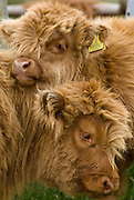 A highland cow lies in long moorland grass with her hair covering her eyes.